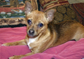Young and adult Chihuahuas looking for new home